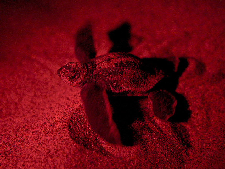 "A loggerhead hatchling (seen with a red ""safe"" light) was found crawling away from the ocean on Juno Beach, Fla., possibly following lights from nearby beachfront buildings. Scientific estimates indicate that only one in 1000 hatchlings will survive to become a reproductive adult sea turtle. Loss of nesting beaches due to coastal overdevelopment hinder turtles from laying eggs. Light pollution which causes hatchlings to go AWAY from the water and predators ranging from raccoons, birds and even domesticated animals have the odds stacked against them before they ever reach the water. Environmental disasters such as oil spills can be devastating to the animals which spend most of their time underwater but have to surface to breath. It's currently a tough world for a creature that's been around for millions of years."
