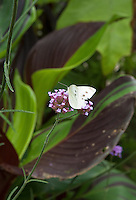 Details of a Cabbage White butterfly (Pieris brassicae) on a verbena bonariensis flower