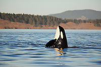 qd0124-D. Orca (Orcinus orca) spyhopping. Also called Killer Whale. Pacific Northwest..Photo Copyright © Brandon Cole. All rights reserved worldwide.  www.brandoncole.com..This photo is NOT free. It is NOT in the public domain. This photo is a Copyrighted Work, registered with the US Copyright Office. .Rights to reproduction of photograph granted only upon payment in full of agreed upon licensing fee. Any use of this photo prior to such payment is an infringement of copyright and punishable by fines up to  $150,000 USD...Brandon Cole.MARINE PHOTOGRAPHY.http://www.brandoncole.com.email: brandoncole@msn.com.4917 N. Boeing Rd..Spokane Valley, WA  99206  USA.tel: 509-535-3489