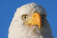 Headshot of an American bald eagle (Haliaeetus leucocephalus), Katmai National Park, Alaska.