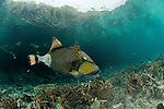 Titan triggerfish, giant triggerfish or moustache triggerfish (Balistoides viridescens). Misool, Raja Ampat, West Papua, Indonesia,  January 2010