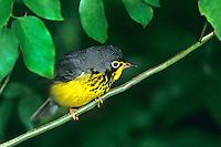 591680004 a wild male canada warbler cardinella canadensis - was wilsonia canadensis - perches in a low growing bush on south padre island texas