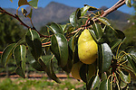 pear, market garden, Babylonstoren estate, Western Cape, South Africa, February 2013