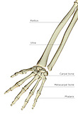 A posterior view of the bones of the left forearm. Royalty Free