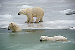 Two polar bears swim in the ocean while one waits on the edge of the ice.