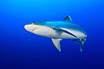 Silvertip Shark (Carcharhinus albimarginatus) cruises a coral reef off New Britain Island, Papua New Guinea.