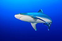 Silvertip Shark (Carcharhinus albimarginatus) cruises a coral reef off New Britain Island, Papua New Guinea.