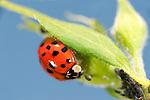 Harlequin Beetle, ladybird, Harmonia axyridis, invasive species, UK, on leaf, against blue sky background, aphids, feeding, pest