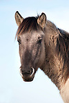 Konik Horse, Kent UK, portrait, direct descendants of the Tarpan, a wild horse which was hunted to extinction, Koniks is Polish word for wild horse, winter coat, pony, introduced into wetland areas to help graze and keep reedbeds managed for conservation