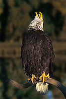 521040099 a wildlife rescue adult bald eagle hailaeetus leucocephalus calls out while perched on a dead snag over a small pond - species is native to much of north america and is the symbol of the united states