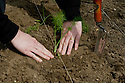 Planting out Florence fennel seedlings, late May.