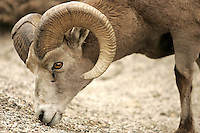 Bighorn sheeps in the Canadian Rockies