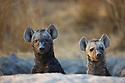 Spotted hyena (Crocuta crocuta) pups looking out of den entrance, Okavango Delta, Moremi Game Reserve, Botswana