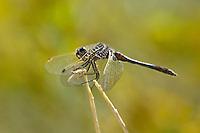 362690005 a wild male black meadowhawk sympetrum danae perches on a stick near de chambeau ponds in mono county california united states