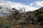 Dancing tree,twisted tree shape sabinas, El Hierro, Canary Islands, Spain.