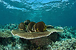 Tropical coral reefs in tthe Coral Triangle with a little schooling batfish (Platax boersii).