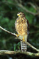 542170007 a wild roadside hawk buteo magnarostris perches on a tree limb in a tall tree on a private ranch in tamaulipas state mexico