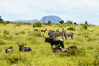 Impala, Blue Wildebeest and Plains Zebra. Kruger National Park, the largest game reserve in South Africa.