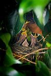 American Robin, nesting in a camellia bush in Portland, Oregon with 4 chicks