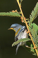 561000020 northern parula setophaga americana - was parula americana wild texas.male perched on small branch.Jasper County, Texas