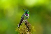 Purple-bibbed Whitetip, Urosticte benjamini, Mindo, Ecuador