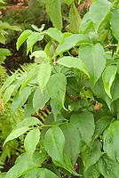 Ilex poneatha (Japan)