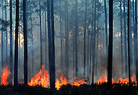 Flames and smoke fill the forest from a prescribed burn set in the Okefenokee National Wildlife Refuge. Controlled fires in the swamp help reduce the thick undergrowth in the jungle-like environment. Lightening strikes from frequent summer storms cause wild fire which threatens nearby private land.