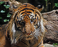Sumatran tiger (Panthera tigris sumatrae) is a subspecies of tiger found on the Indonesian island of Sumatra.