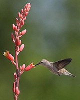 Black-chinned female and Red Hesperaloe blooms in May.