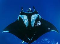 QT2393-D. Manta Ray (Manta birostris) swims overtop scuba diver (model released). Baja, Mexico, Pacific Ocean.<br /> Photo Copyright &copy; Brandon Cole. All rights reserved worldwide.  www.brandoncole.com