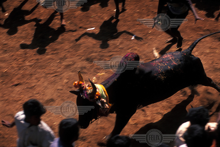 Men flee from a charging bull at the annual Jallikattu bull run. The highlight of the festivities is when men attempt to mount and 'tame' an enraged bull in order to grab a decoration from its specially sharpened horns. Anyone who succeeds in doing so can win one of a range of prizes, including the top prize of a bicycle. Each year the bull run results in many injuries and even deaths. The event is an integral part of Pongal, the Tamil New Year/Harvest Festival.
