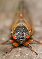 A head-on view of an adult 17-year periodical cicada (Magicicada septendecim) after emerging from its 17 year underground nymphal stage.  Brood II 17-year periodical cicadas emerged to breed in the spring of 2013 after last being seen in 1996.