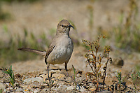 581970024 a wild lecontes thrasher toxostoma lecontei perches in a chapparal plant near maricopa in kern county california