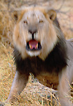 African Lion, South Africa