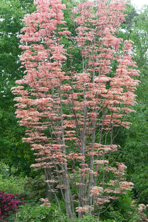 Toona sinensis 'Flamingo', late May. Commonly known as Chinese mahogany, Chinese cedar, Chinese Toon, or Red Toon. This cultivar named for its bright pink foliage in spring.