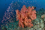 Soft Coral with a cloud of schooling fairy basslets or anthias