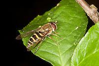 Garten-Schwebfliege, Gartenschwebfliege, Gemeine Schwebfliege, Weibchen, Syrphus spec., hover fly