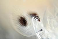 Close up of the four compound eyes of the adult Phronima or Pram Bug, a deep-sea Hyperiid Amphipod. One pair of eyes watches the world ahead and the other pair views the surroundings through the transparent walls of its temporary home in a Salp skeleton.
