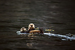 Sea otter and pup, Alaska