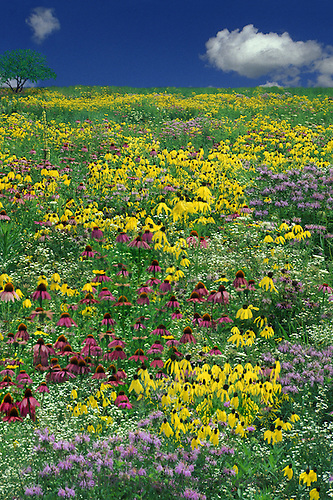 Monet wldflower meadow, Missouri, USA