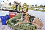 German Sheppard On Cushion