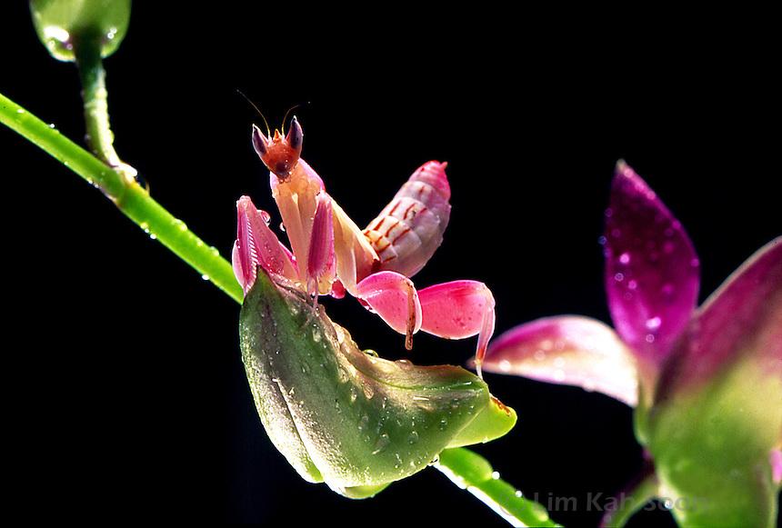 Orchid mantis tattoo