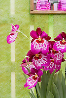 Miltoniopsis Orchid hybrid against pretty wall and window
