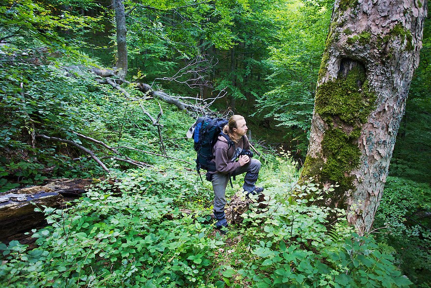 "Kamil Soos (NGO ""Wolf"") standing besides the trunk of a very old (>300 years) Sycamore maple (Acer pseudoplatanus) growing in Jarabá Skala Nature Reserve. Mount Durkovec (1189 m), Runina area, Slovakia."