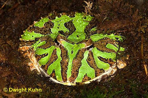 FR24-523z  Ornate Horned Frog, Ceratophrys ornata, Brazil