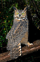 Great Horned Owls (Bubo virginianus) native to North America and in Central and South America, captive.