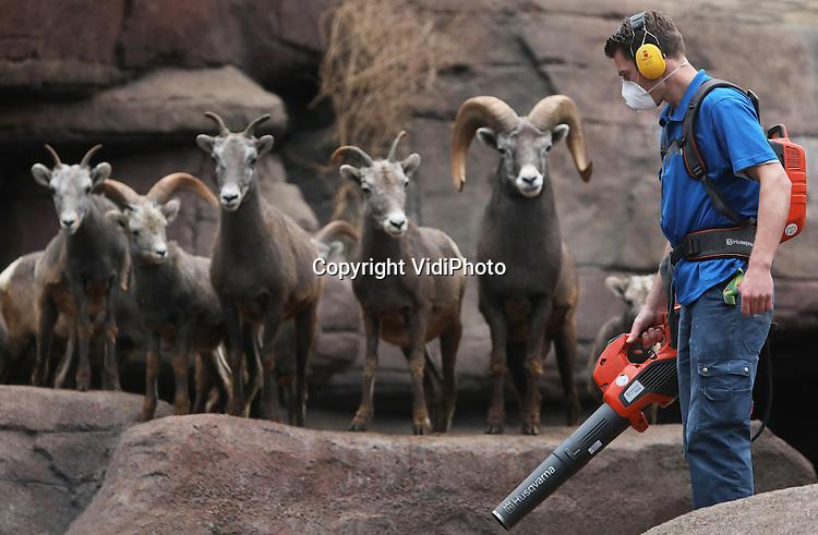 Foto: VidiPhoto<br /> <br /> ARNHEM - Nieuwsgierig kijken de Amerikaanse dikhoornschapen van Burgers' Zoo maandag hoe hun poep uit de gaten en kieren van de kunstrotsen worden geblazen. De fluisterstille bladblazers blijken prima geschikt voor andere blaasklussen in het park dan alleen het opruimen van herfstbladeren, zoals hier het verwijderen van lastig te bereiken keutels in de groeven van de diverse dierenverblijven. Omdat de Arnhemse dierentuin onlangs is overgestapt op accublazers die nauwelijks geluid maken, hoeven de dieren niet meer te verhuizen naar een andere ruimte en ervaren ze geen stress. Ook de snoeiapparatuur en kettingzagen van Burgers' zijn vervangen door geluidsarme accuapparaten, zodat niet alleen de dieren maar ook het publiek minder lawaaioverlast ervaart.