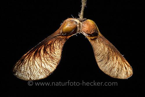 Ahorn frucht eine frucht geöffnet um den darin liegenden samen