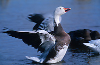 537296219 a wild adult blue phase snow goose chen caerulescens performs a wing stretch in a small reed filled pond at bosque del apache national wildlife refuge new mexico united states