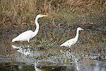 Columbia Ranch, Brazoria County, Damon, Texas; a Great Egret (Ardea alba) bird forages for food alongside an immature, white Little Blue Heron in the shallow water of the slough
